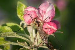 A crane fly sitting on an apple bud royalty free stock image