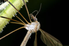 Crane fly, tipula. Resting on the plant Stock Photos