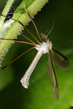 Crane fly, tipula. Resting on the plant Stock Images