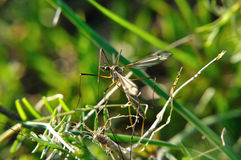 Crane fly Stock Image