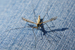 Crane fly Royalty Free Stock Photos
