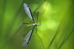 Crane fly (Tipula maxima) Stock Photo