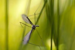 Crane fly (Tipula maxima) Royalty Free Stock Image