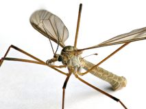 Crane fly, Tipulidae family, on white background Royalty Free Stock Images