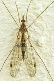 Crane fly, Tipulidae perch on a cement wall. stock photography