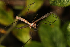 Crane fly trapped in spiders web. Royalty Free Stock Photo