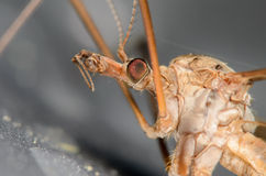 Crane Fly. Up Close Portrait of a Crane Fly Stock Image