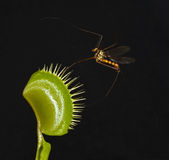 Crane fly and venus fly trap. Giant mosquito entrap in leaf of venus fly trap Royalty Free Stock Photography