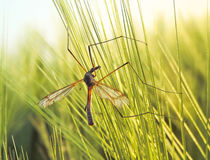 Crane fly in a wheat field. Or rye field in springtime Stock Image