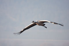 Crane flying Stock Images