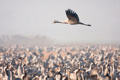 Crane flying Royalty Free Stock Images