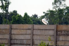 Crane flying on Boundary Wall. Picture of a white crane bird flying throughout the boundary wall ,looks very peaceful royalty free stock photography