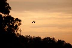 Crane flying Stock Photography