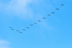 Crane formation Stock Photo