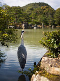 Crane @ Golden Pavilion, Kyoto, Japan. Lonely crane standing in the pond of Kinkaku-ji, also known as the Golden Pavilion in Kyoto, Japan Stock Image