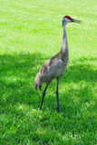 Crane on grassland, florida, USA Royalty Free Stock Image