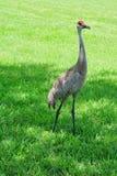 Crane on grassland, florida, USA Stock Images