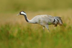 Crane in the green grass. Wildlife scene from Europe. Grey bird with long neck. Travelling in Sweden. Common Crane, Grus grus, big Royalty Free Stock Image