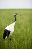 Crane in gress Royalty Free Stock Image