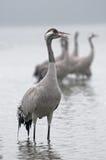 Crane (grus do Grus) em uma névoa densa da manhã vertical Fotografia de Stock