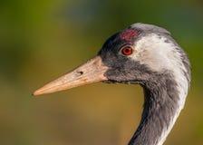 Crane / Grus Grus Stock Images