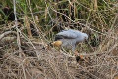 Crane Hawk auf dem gefallenen Klotz, der in den Reben blickt Lizenzfreie Stockfotografie
