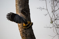 Crane Hawk Digging for Food in Tree Stock Image