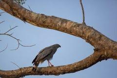 Crane Hawk en rama de árbol bifurcada en la oscuridad Imagen de archivo libre de regalías