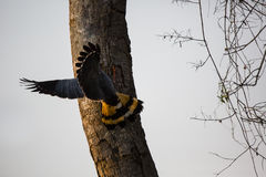 Crane Hawk Holding on to Tree Trunk Looking for Food Stock Photography