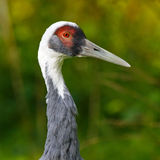 Crane Head Shot Photos libres de droits