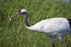 Free Crane Holding Fish In Mouth Royalty Free Stock Photos - 15666028