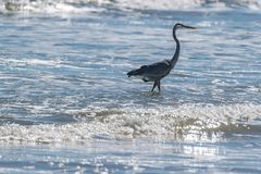 The Crane Hunting Fish in the Surf