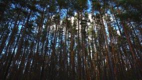 Crane il tiro di alti pini in foresta al bello giorno, timelapse stock footage