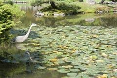 Crane in Japanese garden. Crane and pond in Seattle Japanese garden Stock Photo