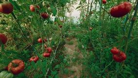 Crane-Jib Shot de los tomates orgánicos de la producción local con la vid y el follaje en invernadero