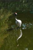 crane koronowana czerwony Fotografia Stock