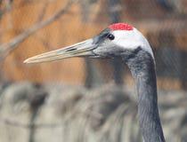 crane koronowana czerwony zdjęcie royalty free