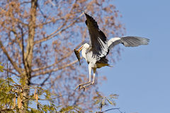 A Crane landing with a fish in it's beak Royalty Free Stock Images