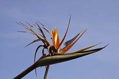 Crane Lily or Bird of Paradise Stock Photos