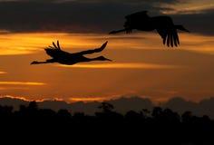 Crane los pájaros que vuelan en la puesta del sol Imágenes de archivo libres de regalías