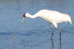 Crane Lost Crab gritando Fotografia de Stock Royalty Free