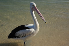Crane in monkey mia Royalty Free Stock Images