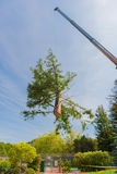 Crane moves large section of  Redwood tree Stock Images