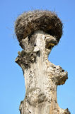 Crane nest on an old tree Royalty Free Stock Photo