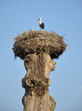 Crane nest on an old tree Royalty Free Stock Photography