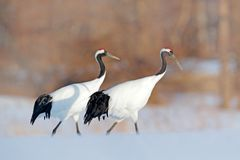 Crane pair, winter scene with snowflakes. Snow dance in nature. Wildlife scene from snowy nature. Cold winter. Snowy. Snowfall two stock photos