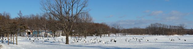 A Crane Panorama. A Panoramic View of a Group of Cranes in Snowy Field royalty free stock photos