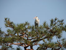 Crane in pine Royalty Free Stock Photos