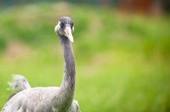 Crane portrait Stock Image