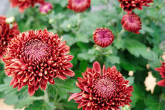 Crane red Chrysanthemum Royalty Free Stock Photography